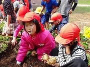 幼稚園終了式リハ&いもほり (13)
