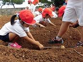 ジャガイモ植え (2)