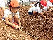 ジャガイモ植え (3)