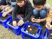 チューリップ植え (7)