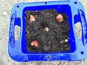 チューリップ植え (9)